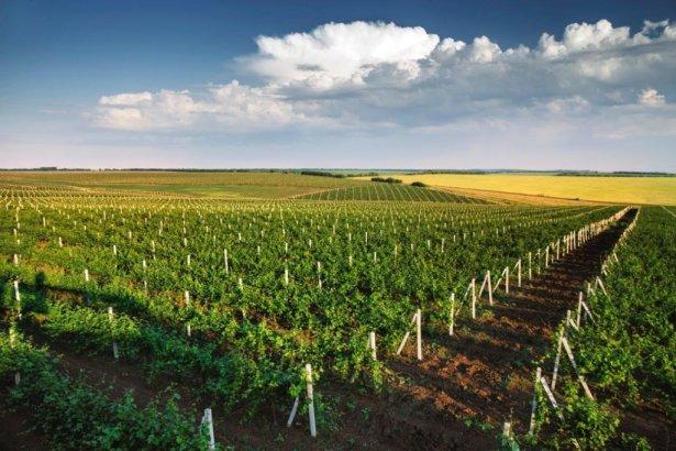 Jedna z mołdawskich winnic. Zdjęcie: materiały prasowe.