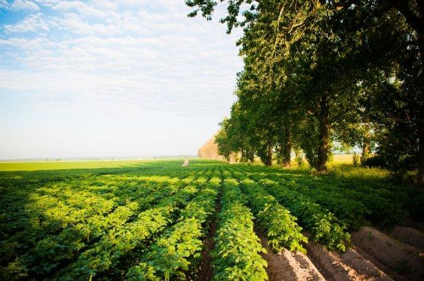 Pole ziemniaczane Farm Frites Poland. Zdjęcie: materiały prasowe.